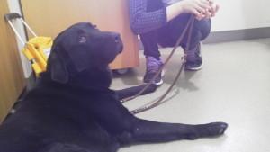 盲導犬候補のコロン君